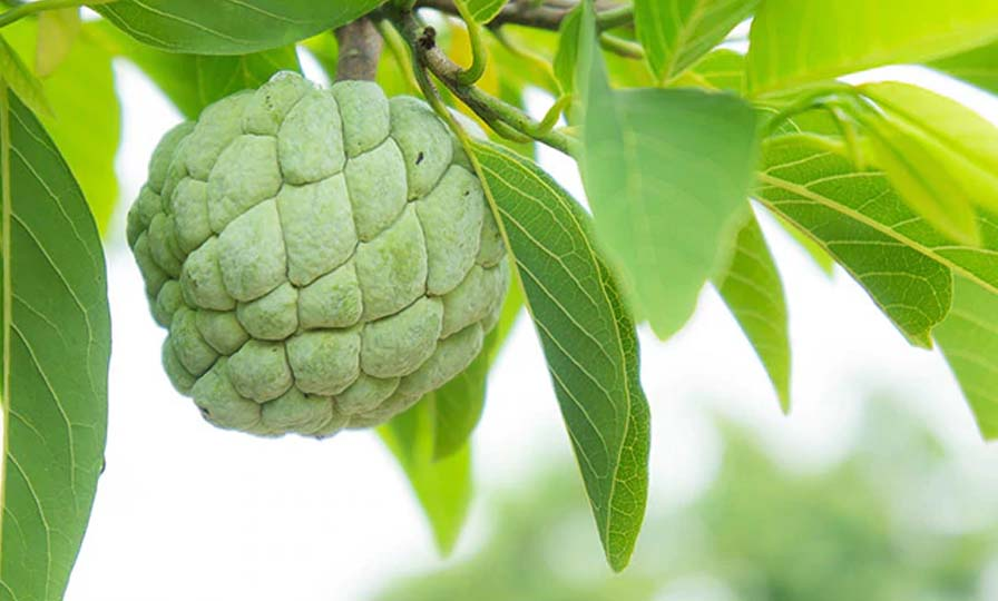 Custard apple leaves